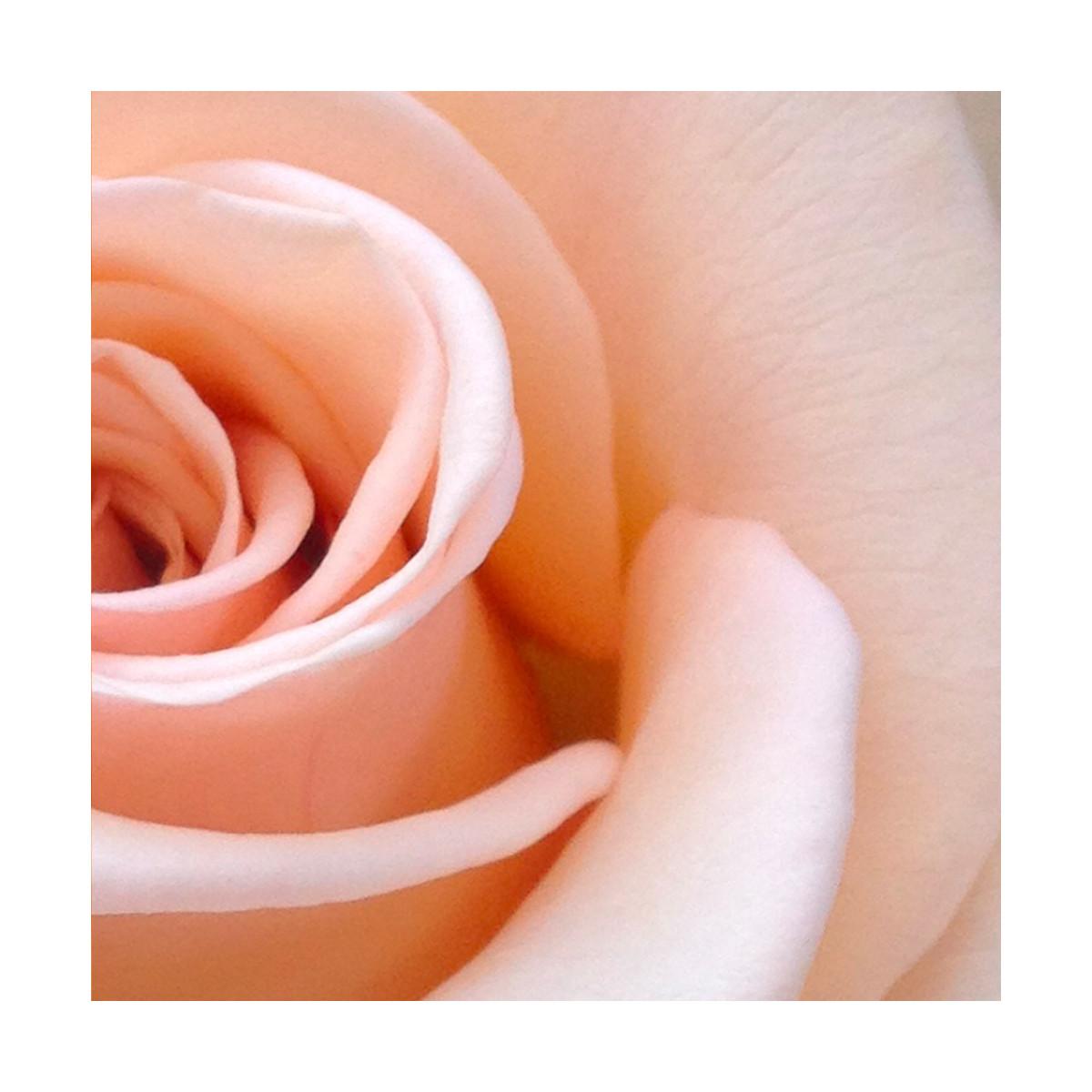 Fragrance Rose thé