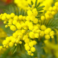 Fragrance Mimosa (Grasse)