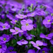 Extrait pour parfum Violette
