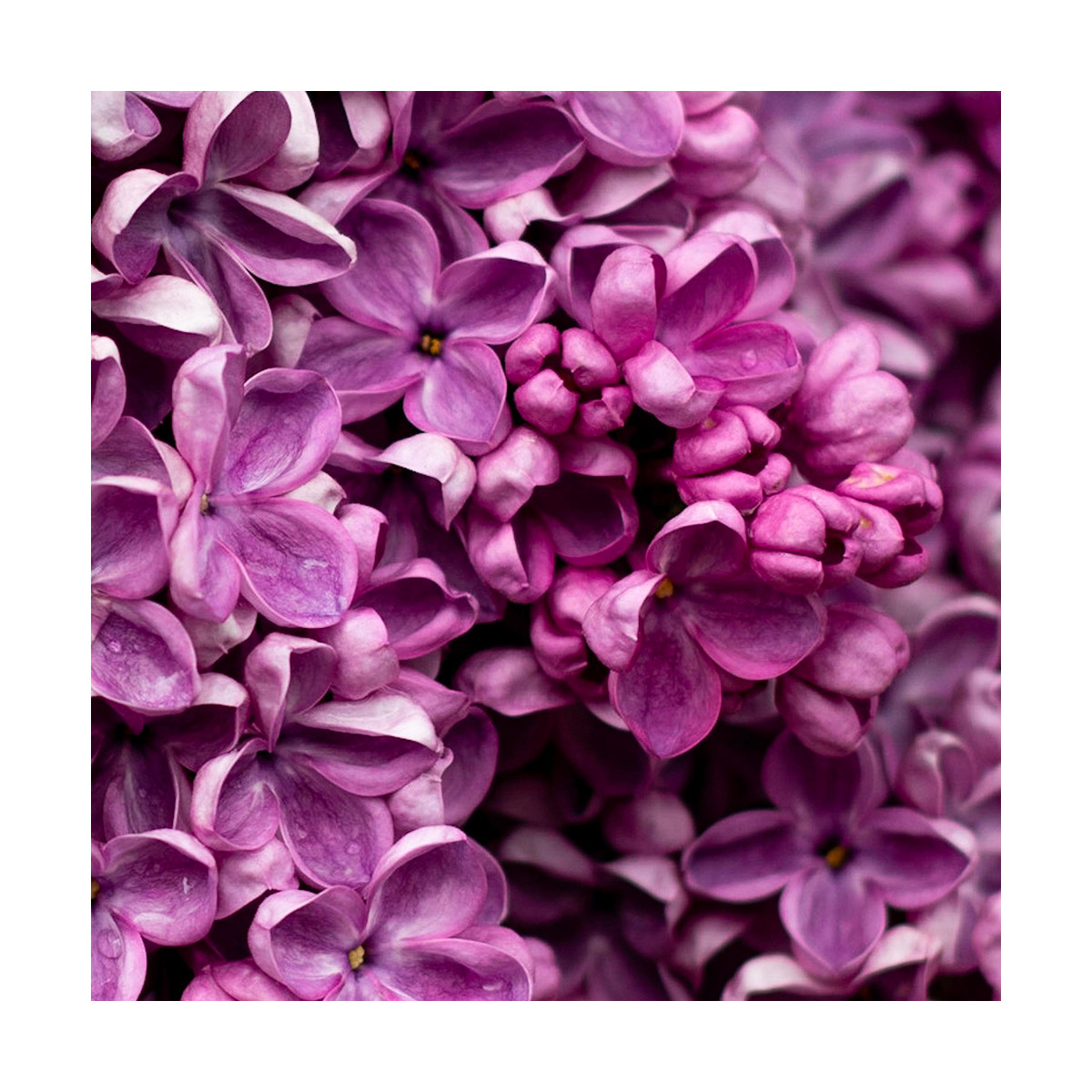 Fragrance Lilas sans allergène